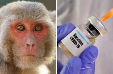 Coronavirus: La vacuna creada por la Universidad de Oxford funcionó positivamente en monos