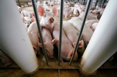 """China: Científicos identifican en cerdos otro potente virus respiratorio """"que puede convertirse en pandemia"""""""