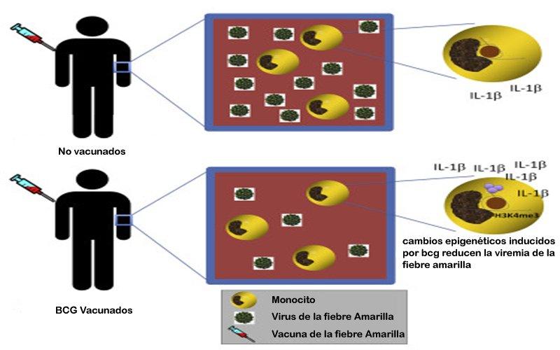 Coronavirus: El misterio de por qué algunas vacunas proporcionan extraordinarios beneficios más allá de los esperados