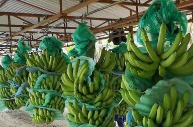 La capacidad anti-cancerígena del plátano maduro