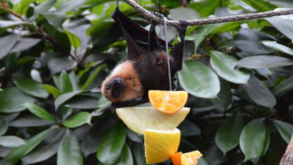 Nipah murciélagos