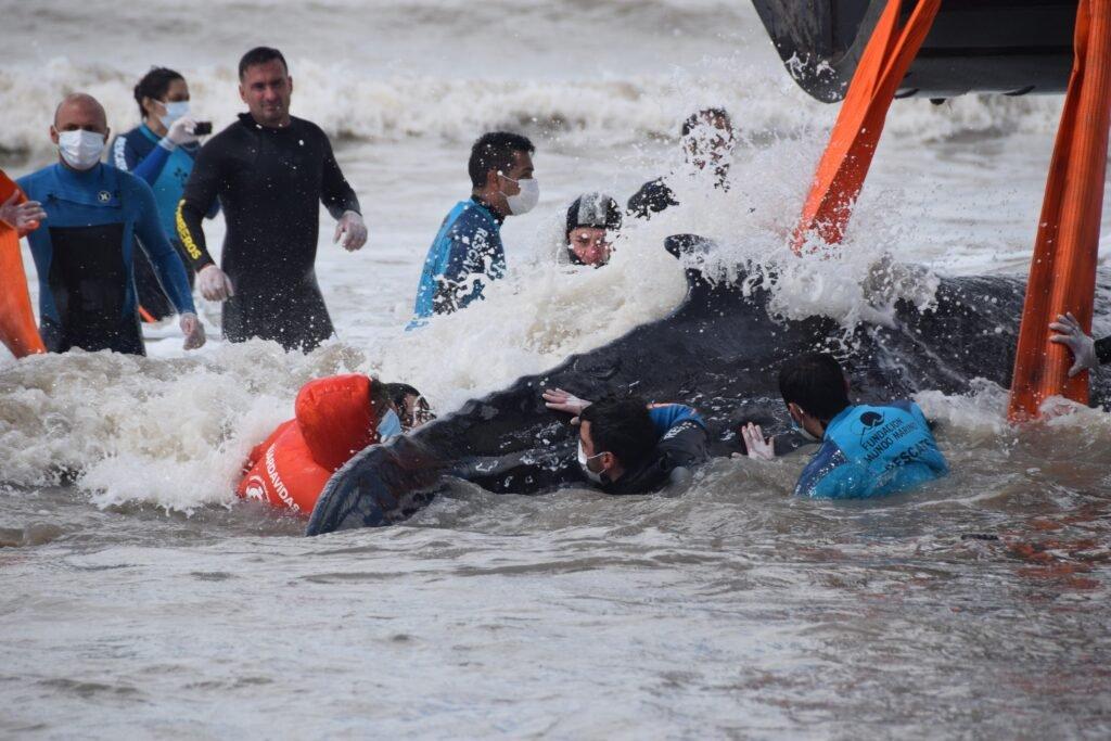 El conmovedor rescate de dos ballenas varadas en Nueva Atlantis y la Lucila del Mar